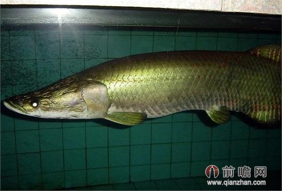 宠物鱼长到1米主人养不起 海象鱼误当宠物闹笑话