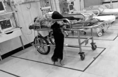 小黑趁人不注意就会溜进急诊室看望主人