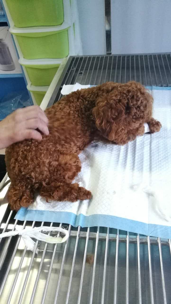 莆田宠物医院-六城门宠物诊所公犬绝育手术